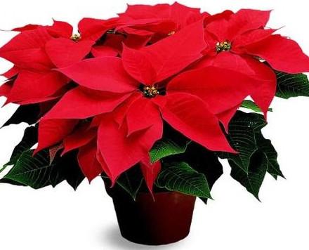 Cuidados de la Planta de Navidad.