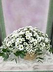 Sin duda este arreglo floral con margaritas blancas es ideal para pedirlo en nuestra web floristeria la alqueria en valencia