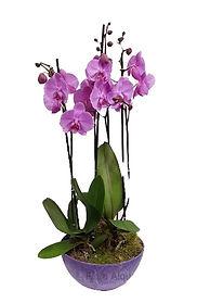 orquideas en color fuxia en base del mismo color, ideal para demostrar lo que sientes a la persona deseada
