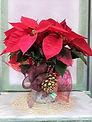 Planta de navidad para regalar con decoracion de navidad. En floristeria la alqueria en valencia disponemos de una gran cantidad y calidad de ellas. Realizamos envios a la ciudad de valencia y ciudades de alrededor