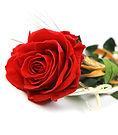 Podra elegir la cantidad de rosas que quiere que tenga su ramo, para regalar en san valentin, el dia de la madre o en esa ocasion tan enamorada. Envio en floristeria la aluqeria en valencia ciudad.