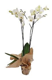 Orquidea en color Blanco es facil de ciudar y elegante , seguro acertara con este regalo de flores