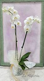 Planta de orquidea para enviar en la ciudad de Valencia desde nuestra floristeria en valencia la alqueria.
