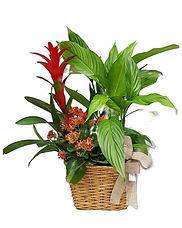 conjunto de plantas en una cesta la composicion ideal del regalo ideal lo enviaremos a domicilio en valencia el dia que usted decida.