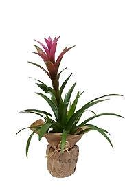 planta natural guzmania. Un acierto seguro con esta planta
