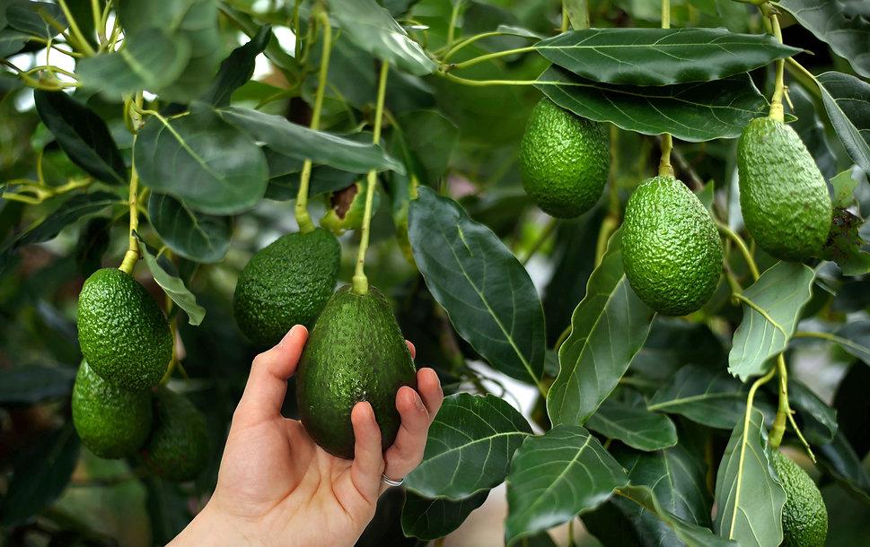 22_avocado.jpg