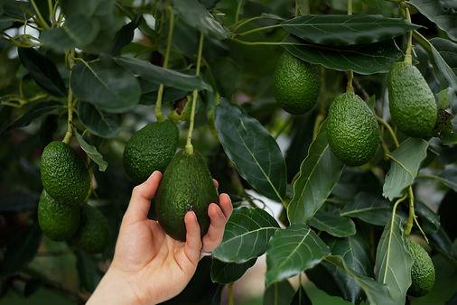 abacaty_avocado_tree.jpg