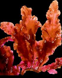 Red seaweed.png