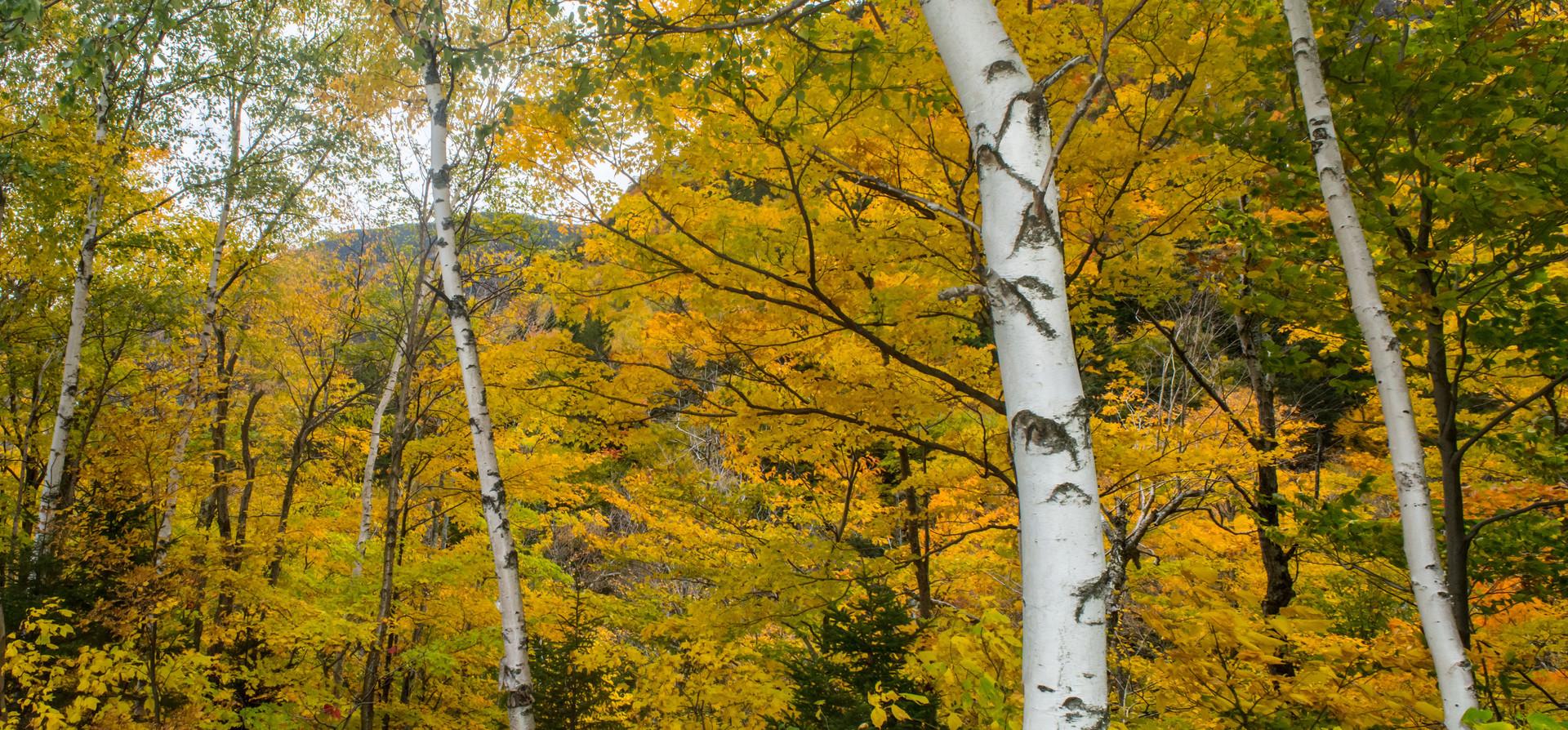 yellowbirch_pan.jpg