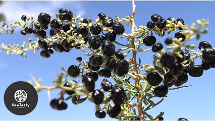 black goji berry plant