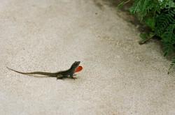 Kauai Lizard