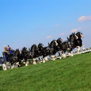 8 Horse Hitch Final.jpg