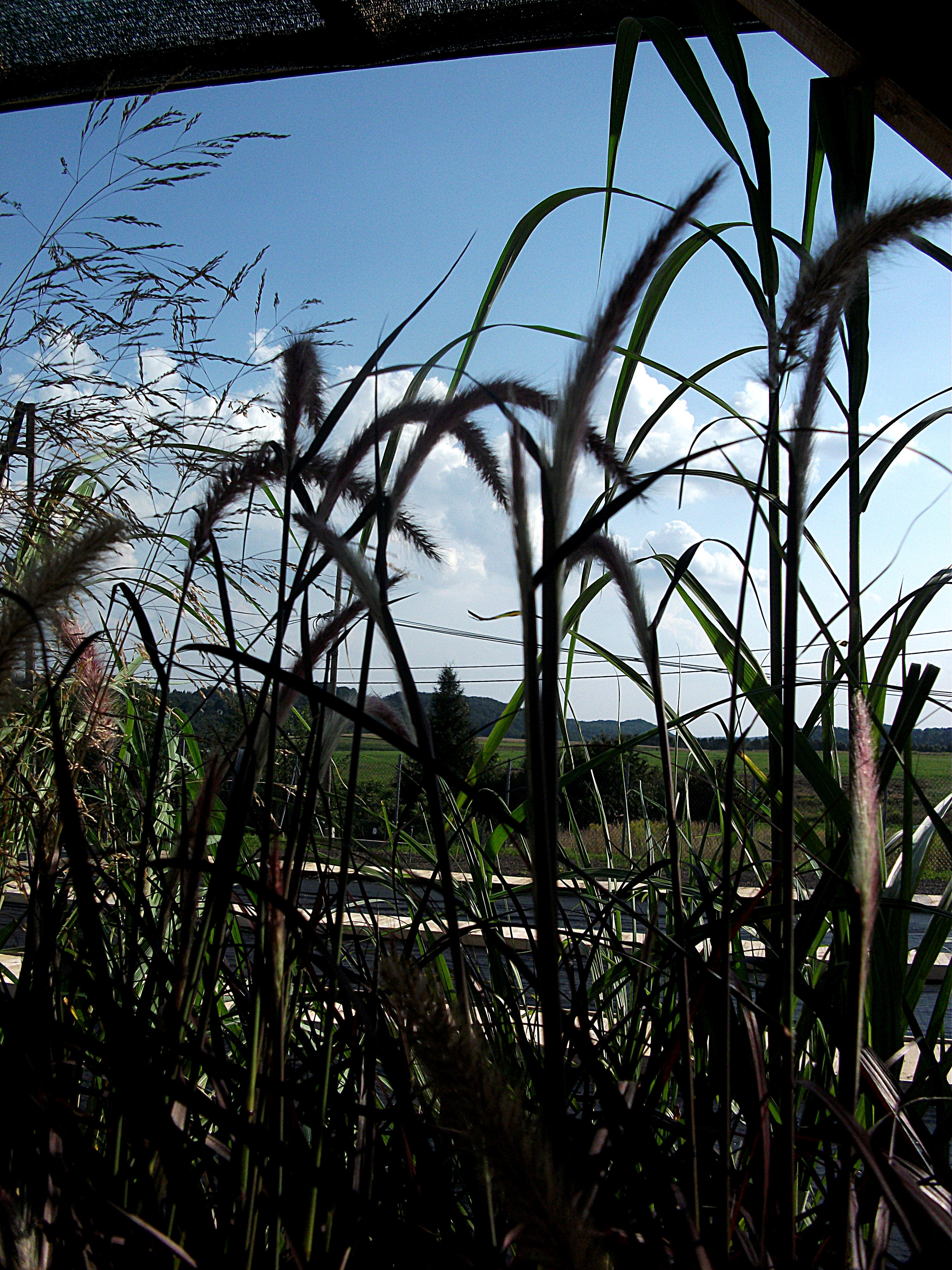 trawy.JPG