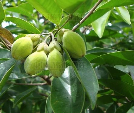 Aquilaria sinensis seeds