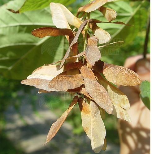 Acer davidii seeds