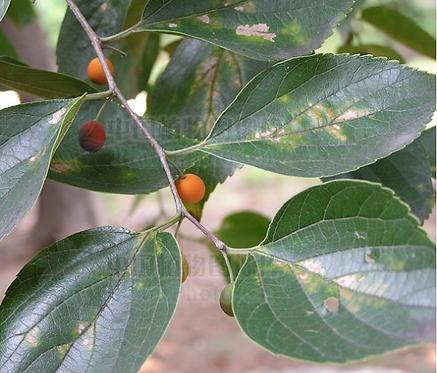 Celtis sinensis seeds