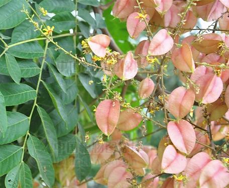 Koelreuteria bipinnata seeds