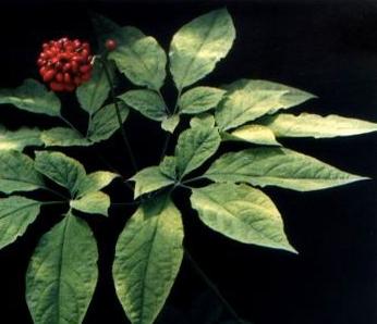 Panax ginseng seeds