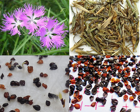 Dianthussuperbus seeds