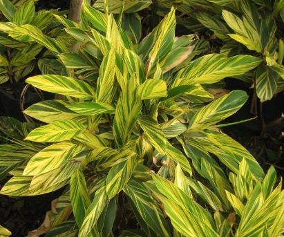 Alpinia zerumbet cv. Variegata seeds