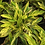 Thumbnail: Alpinia zerumbet cv. Variegata seeds