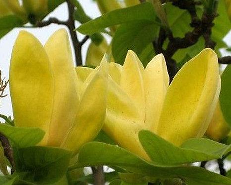 Michelia champaca seeds