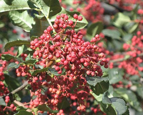 Zanthoxylum bungeanum seed