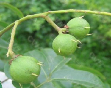 Dracontomelon duperreanum seeds