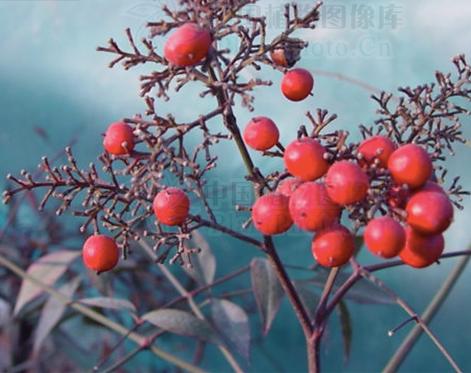 Nandina domestica seeds