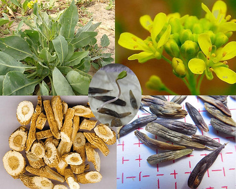 Isatis indigotica seeds