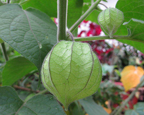 Clinopodiumpolycephalum seeds