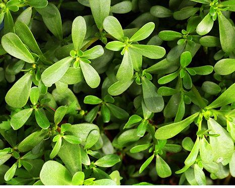 Portulaca oleracea seeds