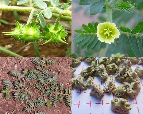 Tribulus terrestris seeds