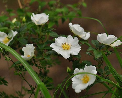 Rosa laevigata seeds