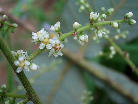 Rhus chinensis seeds