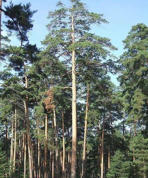 Pinus syluestriformis