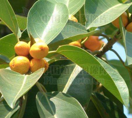 Ficus altissima seeds