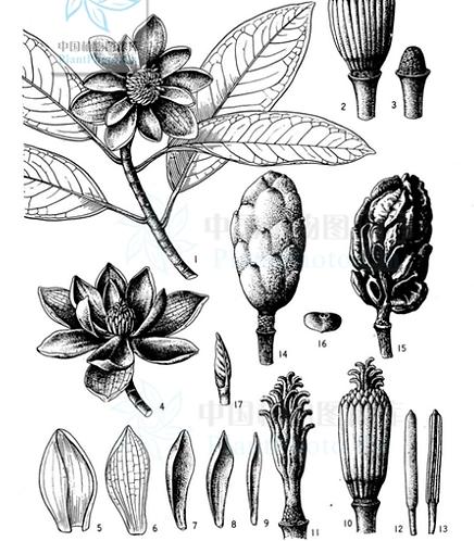 Parakmeria yunnanensis seeds