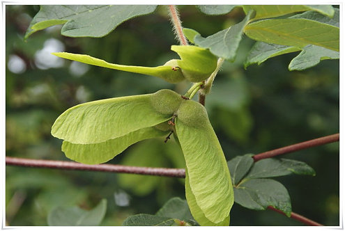 Acer griseum seeds