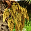 Thumbnail: Livistona chinensis seeds