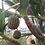 Thumbnail: Pandanus utilis seeds