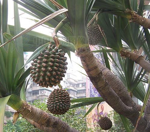 Pandanus utilis seeds