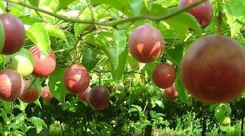 Passiflora edulia Sims