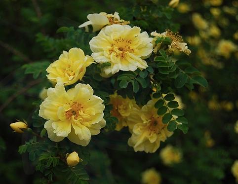 Rosa xanthina seeds