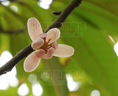 Tsoongiodendron odorum seeds