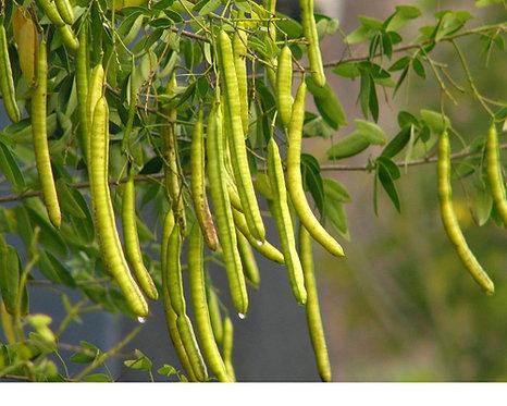 Senna obtusifolia seeds