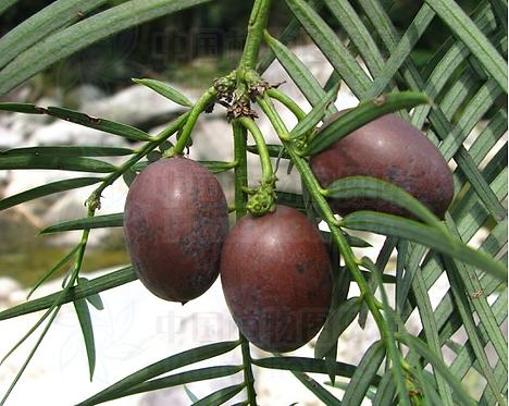 Cephalotaxus fortunei seeds