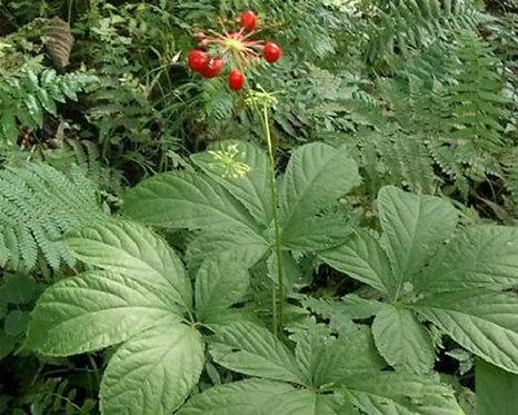 Panax quinquefolium seeds