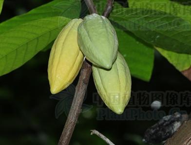 cocoa seeds-Theobroma cacao