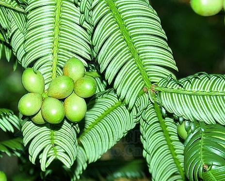 Cephalotaxus oliveri seeds